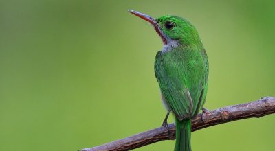Endemic Birds Of The Dominican Republic And Punta Cana