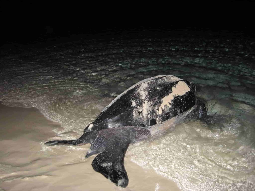 Sea turtle in dominican Republic