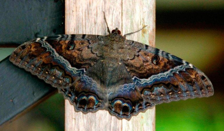 Meaning of the Giant Black Moth in the Dominican Republic's Culture
