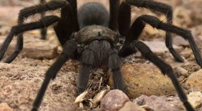 Tarantulas in the Dominican Republic, Should You Worry About Finding One?