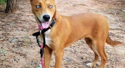 The Pitsky Dog, A Unique Breed Of The Dominican Republic