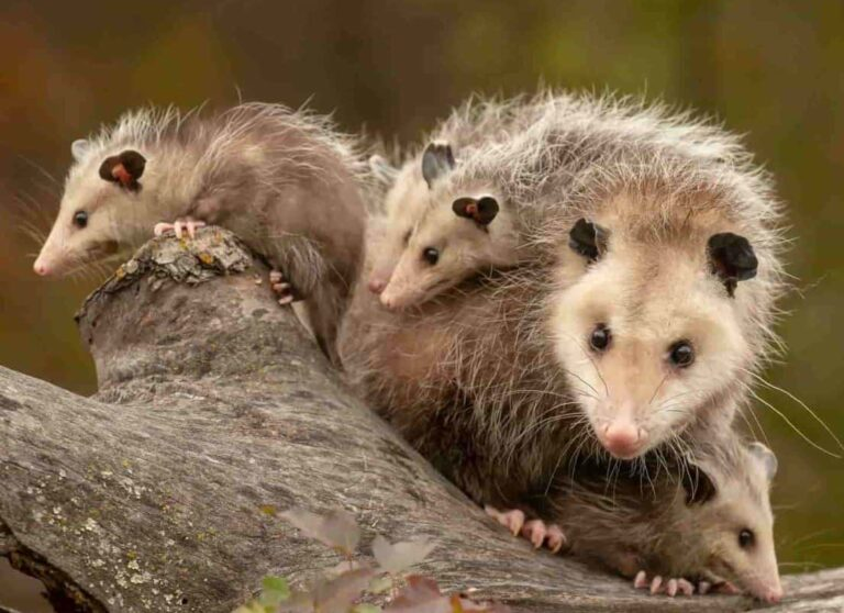 Are There Possums In The Dominican Republic? (Great Confusion Solved)