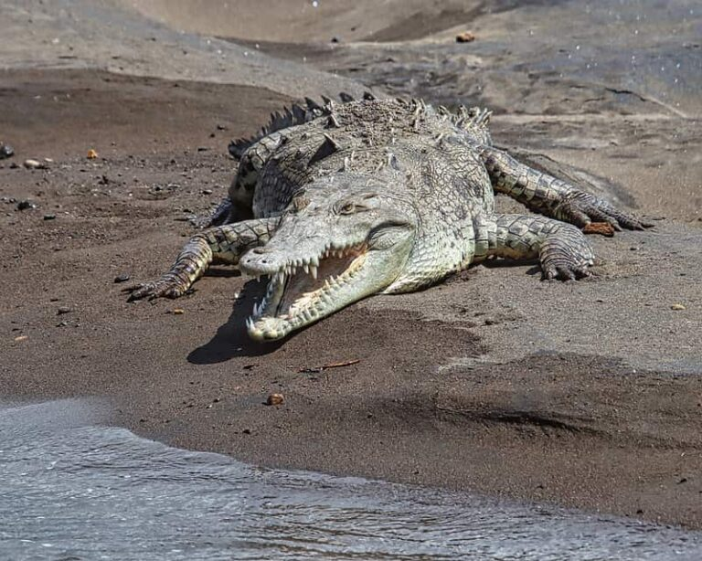 Do Crocodiles in Dominican Republic Attack People? (Solved)